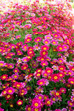 Blooming argyranthemum Stock Images