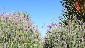 Sweet Lavender And Leaves. Blooming Aromatic Light Violet Lavender With Clean Blue Sky During Winter In South Africa stock photo