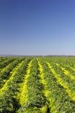 Blooming Artichoke Field Vertical Image stock photo