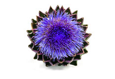 Blooming artichoke on white with clipping path Royalty Free Stock Photo