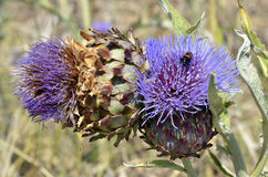 Blooming artichokes Royalty Free Stock Photography