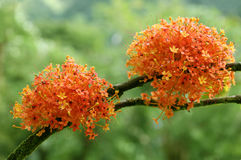 Blooming Ashoka Tree stock photos