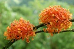 Blooming Ashoka Tree. Ashoka (Saraca asoca) tree flowers on a brunch stock photos