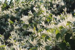 Blooming Asian knotweed invasive species bamboo. Horizontal aspect Stock Photography