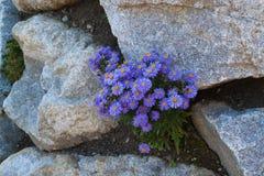 Blooming Aster alpinus. Royalty Free Stock Photos