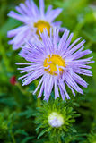 Blooming Aster, Aster, purple, flora, garden Royalty Free Stock Image