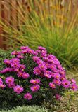 Aster. Blooming aster in a garden Stock Photo