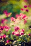 Blooming Astrantia Stock Photography