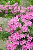 Blooming Azalea Royalty Free Stock Image