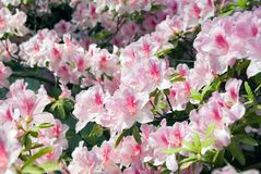 Blooming Azalea. (Rhododendron) in the traditional Chinese garden, Suzhou, China Royalty Free Stock Photo