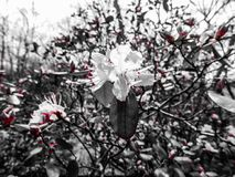 Flecks Of Red In An Azalea Bush. A blooming azalea bush in Rocky Point, New York on Long Island stock photography