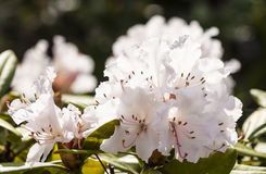 Blooming azalea in the garden Stock Images