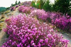 The blooming azalea on the mountain ridge Royalty Free Stock Photo