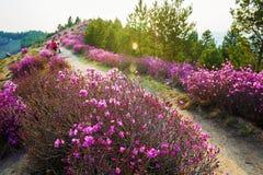 The blooming azalea on the mountain wayside Royalty Free Stock Photo