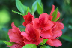 Blooming Azalea Stock Image