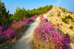 The blooming azalea and path on the ridge Royalty Free Stock Photos