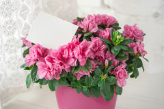 Blooming azalea in pink flowerpot blank card free. Place for text  white rustic background close up Stock Images