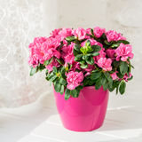 Blooming azalea in pink flowerpot white rustic background. Blooming azalea Royalty Free Stock Photography