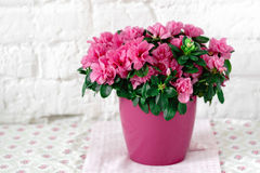 Blooming azalea in pink flowerpot white rustic background. Flower pattern tablecloth Stock Images