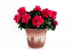 Blooming Azalea. Room Flower Royalty Free Stock Image