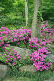 Blooming Azalea at traditional Chinese garden Royalty Free Stock Photography
