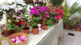 blooming azaleas in botanical garden Stock Photos