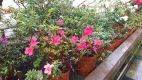 Blooming azaleas in botanical garden Royalty Free Stock Photography