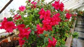 Blooming azaleas in botanical garden Royalty Free Stock Image