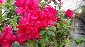 Blooming azaleas in botanical garden Royalty Free Stock Photos