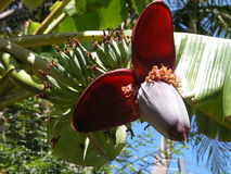 Blooming Banana Tree Royalty Free Stock Images