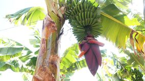 Blooming bananas on Banana plantation on Canary Islands. Huge red banana flower. Green bananas growing on a tree. Bananas are blooming bananas. To grow yellow stock video