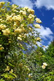Blooming Banksiae rose. In front of a blue sky with white clouds Royalty Free Stock Images