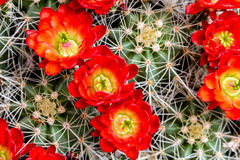 Blooming barrel cactus with red blooms Stock Photos