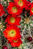Blooming barrel cactus with red blooms Stock Photography