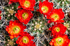Blooming barrel cactus with red blooms Stock Image