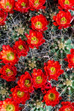 Blooming Barrel Cactus With Red Blooms