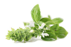 Blooming basil Stock Photography