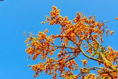 Blooming Bastard Teak Butea monosperma or Flame-of-The-Forest. Flowers in clear blue sky Royalty Free Stock Images