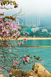 Blooming Bauhinia in Repulse Bay Stock Photography