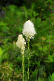 Blooming bear grass flowers Stock Images