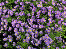 Blooming beautiful blue aster Stock Photo