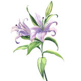 Blooming beautiful blue or purple lily flower isolated, watercolor illustration. Blooming beautiful blue or purple lily flower isolated. Floral postcard. Wedding Stock Photos
