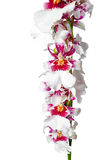 Blooming beautiful branch of dark cherry with white orchid flowe Stock Images