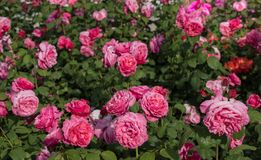 Blooming beautiful bunch of  roses in the garden. Blooming beautiful bunch of roses in spring garden Royalty Free Stock Images