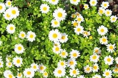 Blooming beautiful Chamomile field Stock Photo