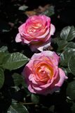 Blooming beautiful colorful roses in the garden Royalty Free Stock Photo
