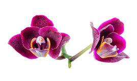 blooming beautiful dark in shades of purple orchid, phalaenopsis is isolated on white background, close up royalty free stock image