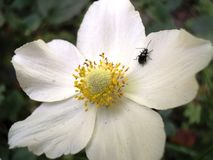 Blooming beautiful garden plant anemone flower with white petals. Nature summer blooming beautiful garden plant anemone flower with white petals stock photo
