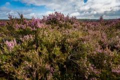 Purple flowering heath plants in a moorland Royalty Free Stock Photo