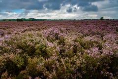 Purple flowering heath plants in a moorland Stock Image